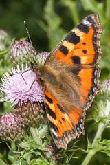 Small Tortoiseshell (Paul Braham Photography) Tags: macro animal animals closeup insect fly insects flies creatures