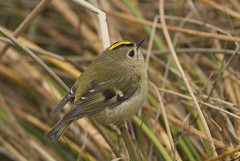Kungsfågel 2 (macronyx) Tags: bird birds birding birdwatching aves fåglar oiseaux vogel nature wildlife kungsfågel kinglet goldcrest regulus regulusregulus