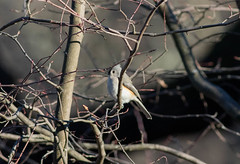 Tufted Titmouse (Accipiter22) Tags: titmouse tufted
