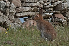 Rolf_Nagel-Fl-0799-Lepus_timidus (Insektenflug) Tags: mountain fauna mammal hare european sweden wildlife schweden sverige hase land schneehase sugetier lagomorpha leporidae lepus timidus mountainhare lepustimidus skogshare