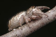 Is This Eris? (#2 - Profile) (Doundounba) Tags: macro spider montral pentax qubec araigne k3 salticidae dcr250 raynox lebizard salticide saltique erismilitaris parcnatureduboisdellebizard pentaxdfa100mmf28macro