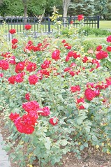 11838619_10153099672852076_8641277308226075403_o (jmac33208) Tags: park new york roses rose garden central schenectady