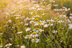 _MG_5857 (i0wa) Tags: sunset summer nature rain estonia canon2470f28l harju canoneos40d canonspeedlite580exii peningi
