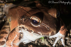 Nocturnal Jungle Tour (Beenie Photography) Tags: red costa tree night tour nocturnal time reptile snake brian amphibian rica bull frog manuel eyed antonio quepos jimenez