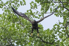BALD EAGLE - JUVENILE (nsxbirder) Tags: baldeagle indiana juvenile haliaeetusleucocephalus brookville whitewaterriver leveeroad