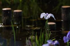 56Yamada Pond Park (anglo10) Tags: flower japan nightscape
