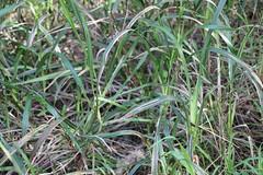 Dianella-caerulea-1 (alison.klein) Tags: wetlands mangroves sydneyolympicpark