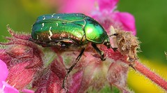 Rose Chafer 060616 (13) (Richard Collier - Wildlife and Travel Photography) Tags: macro green ngc beetle insects bugs naturalhistory british rosechafercetoniaaurata