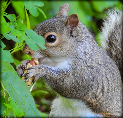 DSCN9591 (DianeBerky19) Tags: summer backyard nikon squirrels birdfeeder peanuts greysquirrels coolpixp900