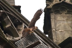 IMG_6874  Juvenile (gipukan (rob gipman)) Tags: holland tower netherlands eos fly toren nederland rover 7d falcon hunter juvenile amersfoort jong jager slechtvalk valk olv peregrinefalcon vliegen falcoperegrinus canon100400l langejan preybird kenkopro
