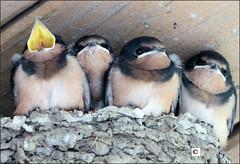 Big Mouth and Siblings - Barn Swallow (sh10453) Tags: leica usa barn michigan panasonic swallow barnswallow brilliant fz200 farmingtonheritageparkpavilionceiling