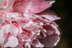 Rain Rain Go Away (Solne.CB) Tags: fleur rain droplets drops pluie peony magical gouttes pivoine magique gouttelettes