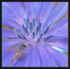 Hoverfly on Common Chicory 1 - Anaglyph 3D (DarkOnus) Tags: macro closeup insect fly stereogram 3d day phone pennsylvania cell anaglyph stereo friday chicory stereography buckscounty hoverfly fdf huawei hfdf flydayfriday mate8 darkonus