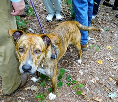 Tiger-Lily (Just Back) Tags: love sc girl face look fur mutt mix soft sweet stripes ears canine pit bull friendly carolina strong leash paws collar hybrid snout gentle brindled peachtreerock leasg