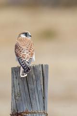 Patient (Jason Whittle Photography) Tags: bird falcon kestrel feathered australianbird nankeenkestrel falcocenchroides onpost