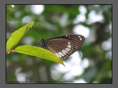 Crows (Douglas Dew butterflies) Tags: two brand crow euploea sylvester