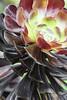 Floral Marquee, Hampton Court Palace, East Molesey, Richmond upon Thames, Surrey (Alwyn Ladell) Tags: surrey flowershow rhs pimms royalhorticulturalsociety hamptoncourtpalace 2016 eastmolesey aeoniumarboreum zwartkopf londonboroughofrichmonduponthames floralmarquee kt89au toddsbotanics