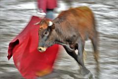 Swiping bull and red cape (Marco A Rodriguez) Tags: bull arena bullfight lidia toro capote torero novillo ruedo taurino