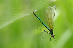 Oh, No........... (klythawk) Tags: nottingham brown white black green nature yellow female spring olympus spidersweb damselfly omd em1 bandeddemoiselle 40150mm calopteryxsplendens 14xtc colwickpark klythawk
