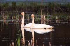Tundra swans #1 (billd_48) Tags: ohio nature birds spring swan tundraswan