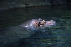 Button the Hippo (Soapbox Girl (Carol Anne)) Tags: fish aquarium hippo hippopotamus aquaticlife adventureaquarium newjerseyaquarium buttonthehippo adventureaquariumcamdennj buttonthehippopotamus