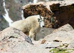 Mt Evans 1 (3rdtrick) Tags: colorado mountaingoats mtevans d800e nikon300f4pf 3rdtrickphotography