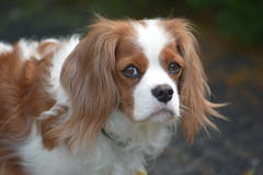 Ace (Innerspacealien) Tags: dog cute dogs cavy king ace charles spaniel cavalier cutedog cavvy my