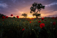 Coquelicots (la mirgue) Tags: spring nikon poppy poppies fields nikkor printemps languedoc champ hrault d7100 1024mm