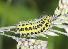 Six-spot Burnet Moth Caterpillar (Prank F) Tags: macro nature closeup insect wildlife moth caterpillar burnet wildlifetrust sixspot twywellhillsdales northantsuk
