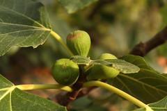 IMG_4173 (zerarcool) Tags: sunset sunlight figs