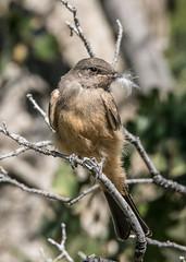 Juvenile Say's Phoebe (ElizabethCaffey) Tags: birds castaic lake california nature photography juvenile says phoebe