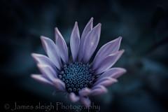 Nikon d5300 macro (Jasrmcf) Tags: blur detail nature beautiful night garden nikon dof purple bokeh smooth depthoffield poppy marco 40mm nikkor nikonmacro bokehlicious d5300 bokehgraph