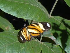 DSC04667 (familiapratta) Tags: nature insect iso100 sony natureza insects inseto insetos hx100v dschx100v