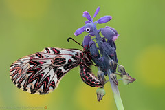 Zerynthia... La piccola Principessa... (daniele.rossi) Tags: macro canon rossidaniele insect butterfly natura nature farfalla lepidoptera 2016 insetto closeup fafalla papilionidae macroworld