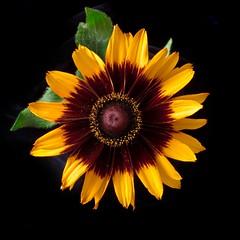 Rudbeckia 'Denver Daisy' (slava_kushvalieva) Tags: flower floral blossom rudbeckia annjacobson denverdaisy