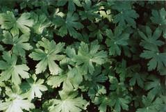 film. (eunoia ecoas) Tags: flowers plant green film nature beautiful analog forest soft minolta ethereal nostalgic geranium melancholic eunoia ecoas