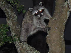 Young Raccoon (How.I.E) Tags: nature wildlife fir hand paw paws hands ears eye eyes reflect red black white brown stripe scrounge climb tree branch juvenile teen smart play hide escape feet cute