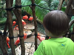"Paul Watches Flamingos at the Dallas Aquarium • <a style=""font-size:0.8em;"" href=""http://www.flickr.com/photos/109120354@N07/27856419245/"" target=""_blank"">View on Flickr</a>"