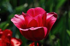 Red Tulip (Brian 104) Tags: ottawatulipfestival flower tulip red