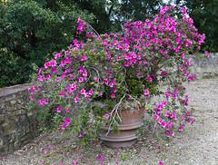 Bardini Gardens Azalea (ramislevy) Tags: pink italy stone wall garden florence rhododendron tuscany firenze