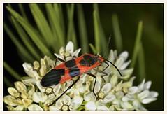 Milkweed Bug (gauchocat) Tags: arizonasonoradesertmuseum tucsonarizona