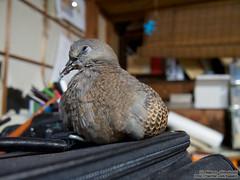 Oriental turtle dove (over_frost) Tags:   bird   dove  orientalturtledove  japan 7 july