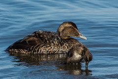 Common Eiders (sklachkov) Tags: bird birds maine kennebunkport common eider waterbirds