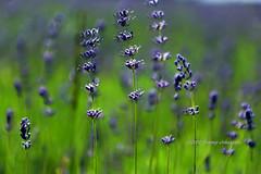 Lavender (tommyajohansson) Tags: flowers england flower fleur fleurs geotagged unitedkingdom lavender blumen surrey blomma blume blommor lavande mayfield lavanda lavendel faved banstead lavenderfarm englishlavender lavandulaangustifolia mayfieldlavender tommyajohansson