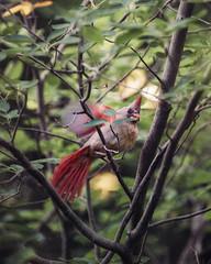 she's alarmed because I'm too close to their nest (amy buxton) Tags: nature birds animals garden spring natural cardinal stlouis femalecardinal amybuxton