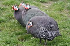 (Ronae2987) Tags: zoo guineafowl perlhuhn