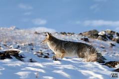 Coyote (cebuphotographer) Tags: coyote utah antelopeisland nikoncapturenx nikond300 nikon200500mmf56