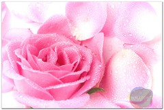 Pink Rose Petals (wallprintco,.ltd) Tags: background beautiful closeup composition delicate details flora floral flower fragrance life love nature object petal petals pink romance romantic rose soft still stilllife