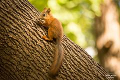 Because i'm happy! (HakanGil) Tags: park tree animal happy squirrel bokeh moscow gorkypark