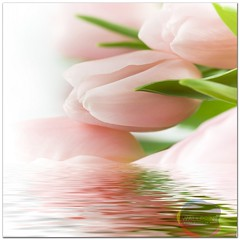 beautiful pink tulips (wallprintco,.ltd) Tags: arrangement beautiful beauty bouquet bridal classic copy copyspace cut day delicate diagonal dream dreaming easter emotion emotions flower fresh green holland isolated leafs love macro mothers netherlands petal pink pretty pure romantic sharp smooth space spring springy still tulip tulips valentines white water reflection